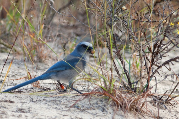 Florida Scrub Jays need open sandy areas created by fire to store their acorns for the winter.