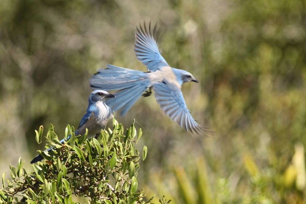 Florida Scrub-Jays