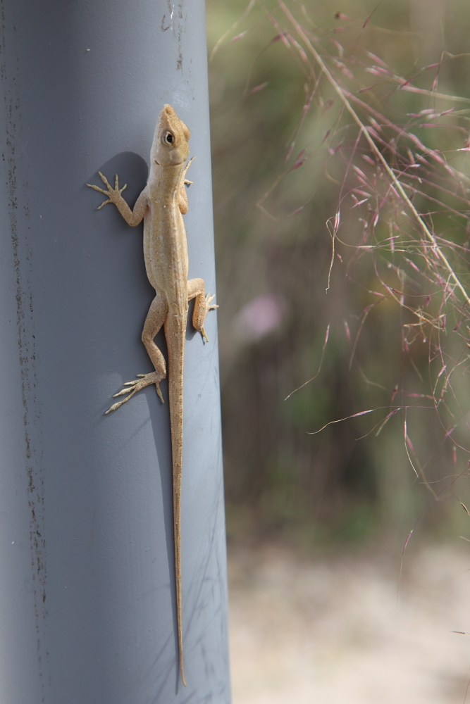 Green Anole (2/2)