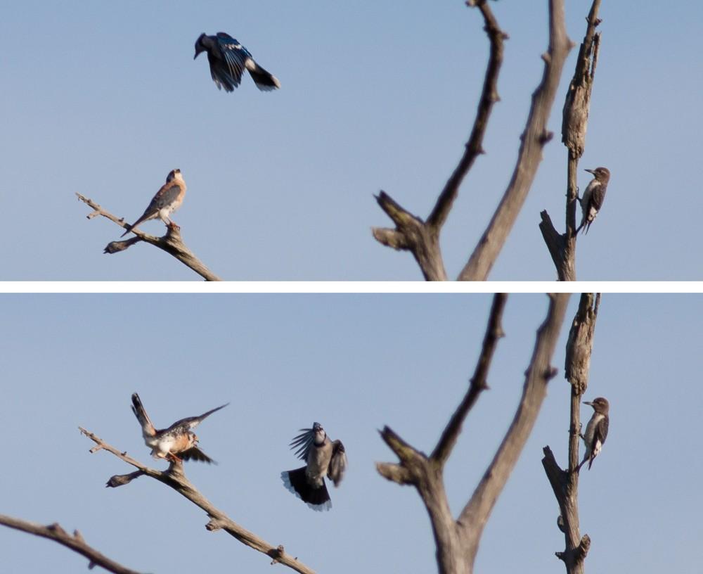 Bird Battle! (1/6)