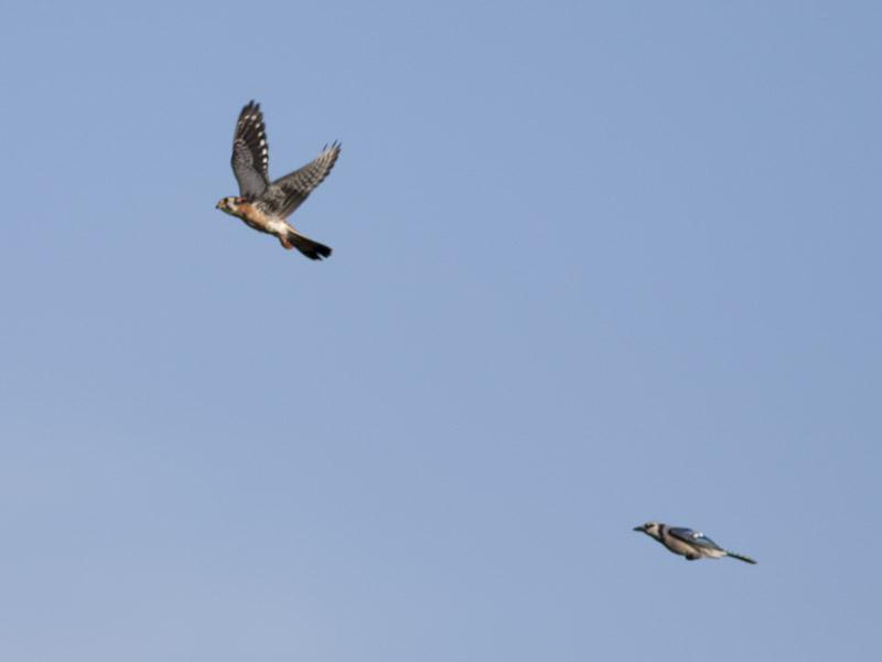 Bird Battle! (5/6)