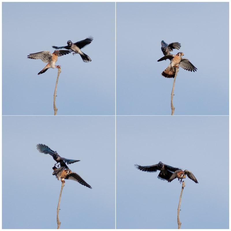 Bird Battle! (6/6)