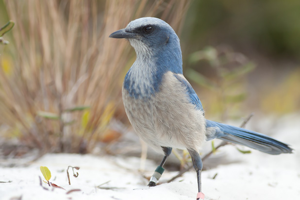 Searching for Scrub-Jays (4/5)
