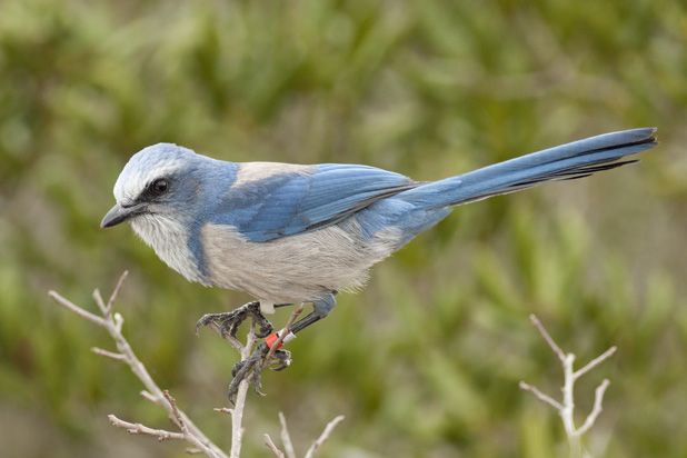 Searching for Scrub-Jays (5/5)