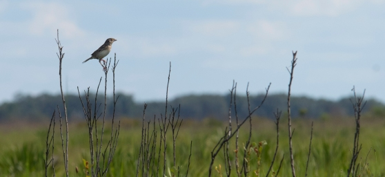 Florida Grasshopper Sparrow