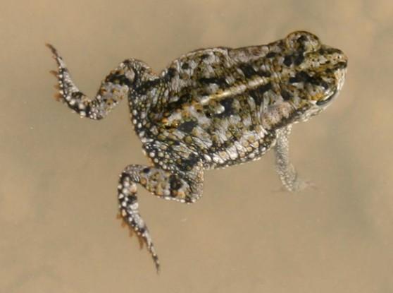 Anaxyrus quercicus.jpg