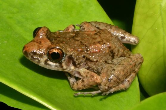Eleutherodactylus planirostris.jpg